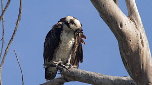 Osprey (Pandion haliaetus) perched on a dead tree, ruffling its feathers and preening, Bolsa Chica Ecological Reserve, Southern California, USA, May.  -  John Chan