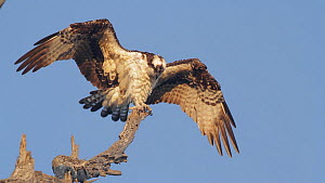 Osprey (Pandion haliaetus) ruffling its feathers and preens as it dries off after a dive, Bolsa Chica Ecological Reserve, Southern California, USA, October.  -  John Chan