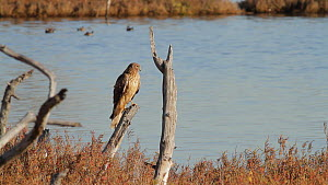 Northern Harrier (Circus cyaneus) perched on a dead branch preening, Bolsa Chica Ecological Reserve, Southern California, USA, December.  -  John Chan