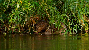 Eurasian beaver (Castor fiber) swimming over to a willow, it clambers on to a branch before beginning to feed on the surrounding leaves, Devon, England, UK.  -  Rose Summers