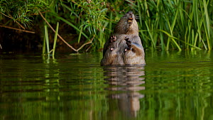 Eurasian beaver (Castor fiber) swimming then raises out of the water to investigate scent before swimming out of frame, Devon, England, UK, June.  -  Rose Summers