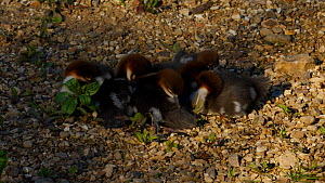 Seven Goosander (Mergus merganser) chicks huddling together on river bank preening, one chick yawns followed by two others waddling backwards from the group and deficating, Devon, England, UK, May.  -  Rose Summers