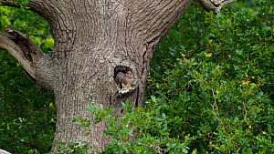 Common kestrel (Falco tinnunculus) chicks waiting to be fed at the entrance of a nest in a tree trunk, one chick clambers over its sibling to get closer to the entrance, Devon, England, UK.  -  Rose Summers
