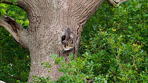 Two Common kestrel (Falco tinnunculus) chicks sitting in entrance of nest hole in tree trunk, one chick begins flapping its wings to strengthen them, Devon, England, UK, June.  -  Rose Summers