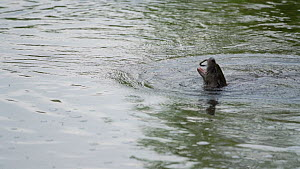 Slow motion clips of European otter (Lutra lutra) emerging from water with a fish that it has caught before eating it and then diving back underwater, Devon, England, UK, May.  -  Rose Summers