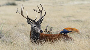 Red deer (Cervus elaphus) stag lying down resting as a Jackdaw (Corvus monedula) searches for parasites in its fur, the stag moves it's head causing the jackdaw to fly away, Richmond Park, London, Eng...  -  Rose Summers