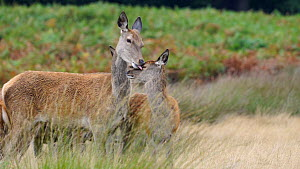 Red deer (Cervus elaphus) doe cleaning the face of its young before yawning, Richmond Park, London, England, UK, October.  -  Rose Summers