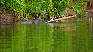Slow motion clip of European otter (Lutra lutra) emerging from water, it pauses and looks around before diving back under, Devon, England, UK, May.  -  Rose Summers