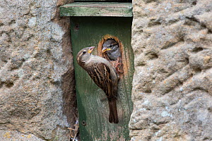 House sparrow (Passer domesticus) female feeding chick in nestbox, Northumberland National Park, UK, May  -  Ann & Steve Toon