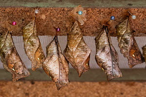 Giant owl butterfly pupae (chrysalis) hang ready to hatch in a hatching box at the Mindo butterfly Farm (Mariposas de Mindo). Mindo, Ecuador.  -  Karine Aigner