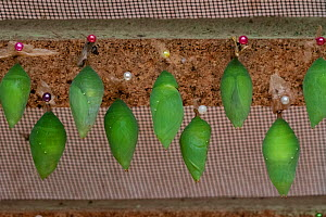Pupae (chrysalis) of the Common Morpho (Morpho peleides) almost ready to hatch in hatching box at the Mindo butterfly Farm (Mariposas de Mindo).  -  Karine Aigner