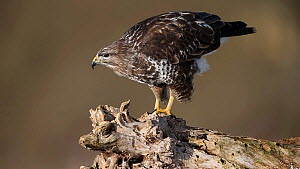 Common buzzard (Buteo buteo) perched on dead wood cleaning its beack against it, Bavaria, Germany, January.  -  Hermann Brehm