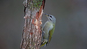 Female Grey-headed woodpecker (Picus canus) feeding on tree trunk before moving across it to feed on opposite side, Bavaria, Germany, January.  -  Hermann Brehm