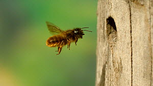 Female Red mason bee (Osmia bicornis) returning to her nest hole in a dead holly trunk, April.  -  Kim Taylor