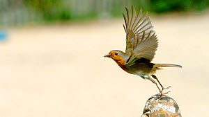 Slow motion clip of European Robin (Erithacus rubecula) standing with food in its beak, looks around before taking off, April.  -  Kim Taylor