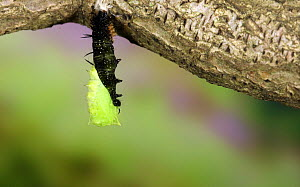 Peacock butterfly (Aglais io) caterpillar suspending itself from a silk pad by its rear prolegs before shedding its larval skin and emerging as a pupa, June.  -  Kim Taylor