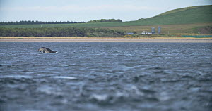 Slow motion clip of Bottlenose dolphins (Tursiops truncatus) pod hunting, Moray Firth, Scotland, August.  -  SCOTLAND: The Big Picture