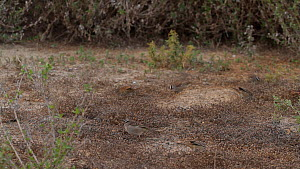White crowned sparrows (Zonotrichia leucophrys) foraging on the ground, Bolsa Chica Ecological Reserve, Southern California, USA, January.  -  John Chan