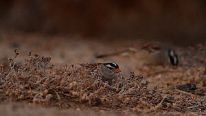 Two White crowned sparrows (Zonotrichia leucophrys) scratching at the dirt as they foraging on the ground, Bolsa Chica Ecological Reserve, Southern California, USA, January.  -  John Chan