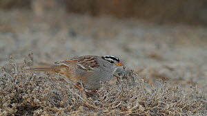 White crowned sparrow (Zonotrichia leucophrys) scratching at the dirt as it foragings on the ground, Bolsa Chica Ecological Reserve, Southern California, USA, January.  -  John Chan