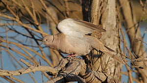 Eurasian collared dove (Streptopelia decaocto) stretching its wings, Bolsa Chica Ecological Reserve, Southern California, USA, March.  -  John Chan