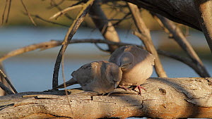 Eurasian collared dove (Streptopelia decaocto) grooming its fledgling, Bolsa Chica Ecological Reserve, Southern California, USA, March.  -  John Chan