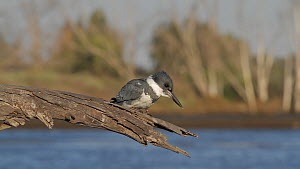 Belted kingfisher (Megaceryle alcyon) diving for prey, returns to fishing perch, Bolsa Chica Ecological Reserve, Southern California, USA, March.  -  John Chan