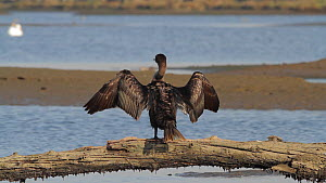 Double crested cormorant (Phalacrocorax auritus) drying its plumage, open wings, Bolsa Chica Ecological Reserve, Southern California, USA, October.  -  John Chan