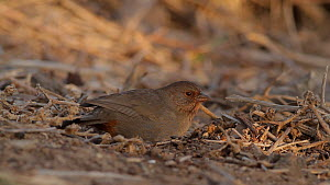 California towhee (Melozone crissalis) foraging on the ground, Bolsa Chica Ecological Reserve, Southern California, USA, December.  -  John Chan