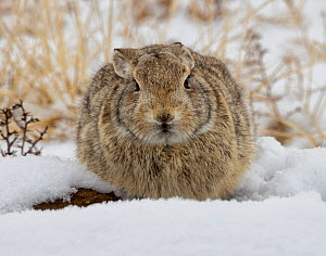 Eastern cottontail rabbit (Sylvilagus floridanus) huddled for warmth in the snow at the entrance to a prairie dog burrow. Eastern Colorado, USA. January  -  Charlie Summers