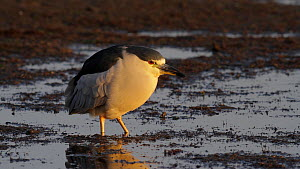 Black crowned night heron (Nycticorax nycticorax) ruffling its feathers, Bolsa Chica Ecological Reserve, Southern California, USA, December.  -  John Chan