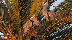 Great blue herons (Ardea herodias) engaging in ritualistic bill dueling during courtship, Bolsa Chica Ecological Reserve, Southern California, USA, February.  -  John Chan