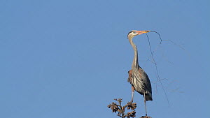 Great blue heron (Ardea herodias) resting, perched prior to returning to nest site with nesting material, Bolsa Chica Ecological Reserve, Southern California, USA, February.  -  John Chan