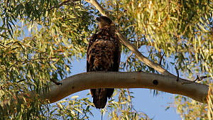 Juvenile Bald eagle (Haliaeetus leucocephalus) perched on a branch preening before scratching its head with talons, Southern California, USA, April.  -  John Chan