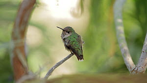 Calliope hummingbird (Stellula calliope) watching other birds from perch before flying away, Southern California, USA, April.  -  John Chan