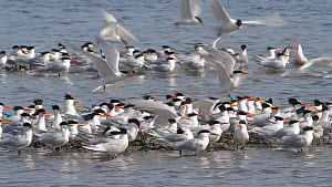 Elegant terns (Thalasseus elegans) gathering at mussel bed during breeding season, one hovering tern has a mussel clamped to its foot, a common mishap caused by stepping on an open mussel, Bolsa Chica...  -  John Chan