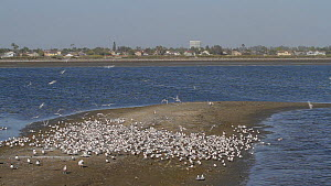 Elegant terns (Thalasseus elegans) diving and streaking which triggers the flock to take flight in unison, an example of flocking behavior, Bolsa Chica Ecological Reserve, Southern California, USA Mar...  -  John Chan