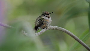 Calliope hummingbird (Stellula calliope) perched, resting and scratching its head, Southern California, USA, April.  -  John Chan