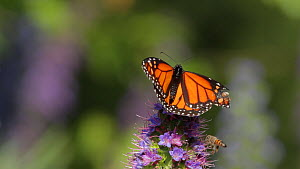 Monarch butterfly (Danaus plexippus) taking flight from a Pride of madeira (Echium candicans) after contact with a Honey bee (Apis mellifera), Southern California, USA, April.  -  John Chan