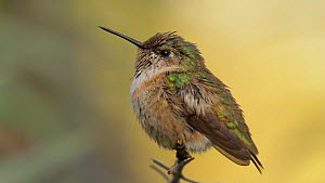 Calliope hummingbird (Stellula calliope) chasing insects before returning to its perch, Southern California, USA, April.  -  John Chan