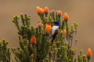 Male Ecuadorian hillstar (Oreotrochilus chimborazo) drinking nectar from the Flower of the Andes (Chuquiraga jussieui). This hummingbird feeds perched on its food-plant rather than by hovering, and so...  -  Lucas Bustamante