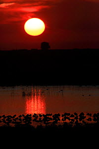 Black-tailed godwit (Limosa limosa) at dusk. Andalusia, Spain. February  -  Andres M. Dominguez