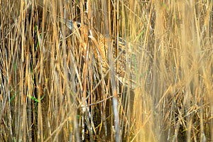 Great bittern (Botaurus stellaris) camouflaged in reeds, Sevilla, Andalusia, Southern Spain. March  -  Andres M. Dominguez