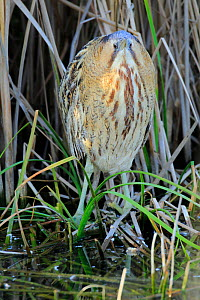 Great bittern (Botaurus stellaris). Sevilla, Andalusia, Southern Spain. March  -  Andres M. Dominguez