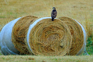 Common buzzard (Buteo buteo) perched on hay bales Riano, Northern Spain, August.  -  Andres M. Dominguez