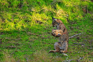 Iberian lynx (lynx pardinus) juvenile playing with prey (Red-legged partridge) hunted by its mother, Sierra de Andujar, Andalusia, Spain. January.  -  Andres M. Dominguez