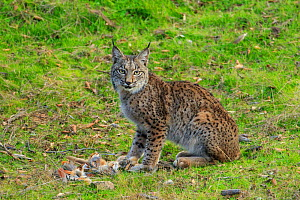 Iberian lynx (lynx pardinus) juvenile with prey (Red-legged partridge) hunted by the mother, Sierra de Andujar, Andalusia, Spain. January.  -  Andres M. Dominguez