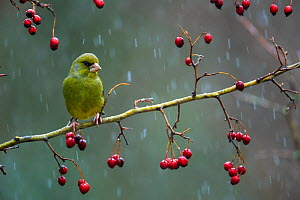 Greenfinch (Carduelis chloris) perched on a branch of hawthorn a snowy day, Sierra de Grazalema Natural Park, Cadiz, Andalusia, southern Spain. January.  -  Andres M. Dominguez
