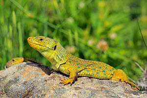 Ocellated or jewelled lizard (Timon lepidus) basking on rocks, Los Alcornocales Natural Park, Andalusia, Southern Spain. May.  -  Andres M. Dominguez