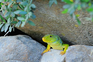 Ocellated / Jewelled lizard (Timon lepidus) on rocks, Los Alcornocales Natural Park, Andalusia, Southern Spain. May.  -  Andres M. Dominguez